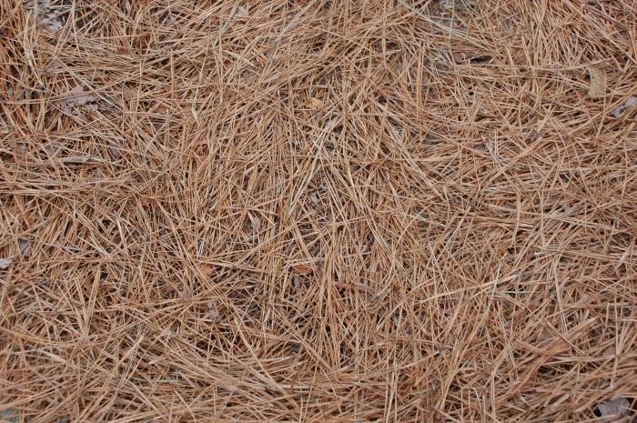 pine-needles